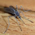 血を吸ってふくらんだままの蚊が化石として発見される!
