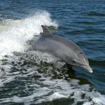 イルカを意図的にサメの餌に?ペルーで年間15000頭のイルカが捕獲される。