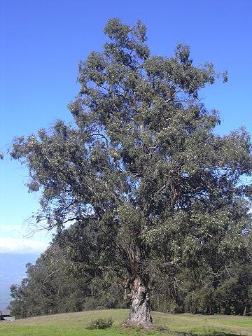 360px Starr 031214 0076 Eucalyptus globulus ユーカリの木は黄金のなる木?新発見された驚愕の事実!