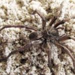 ウルグアイで地中に生息する新種のクモが発見される!