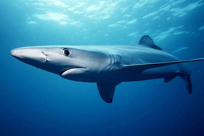 800px Prionace glauca by mark conlin イルカを意図的にサメの餌に?ペルーで年間15000頭のイルカが捕獲される。