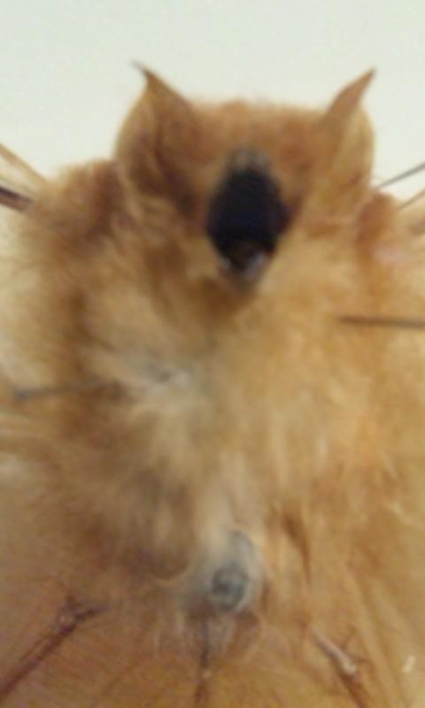 DSC 0911 e1382197076194 オレンジ色のインドヒオドシコウモリ!こんなコウモリ見たことない!
