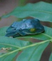 12f07c6c 青いカエルが沖縄本島で発見される!
