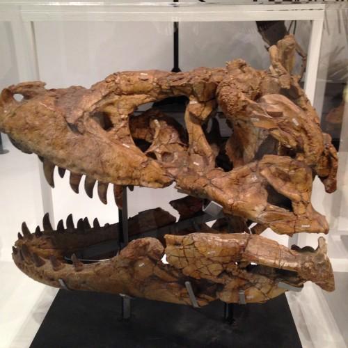 164 500x500 タルボサウルス!アジア最大の獣脚類!