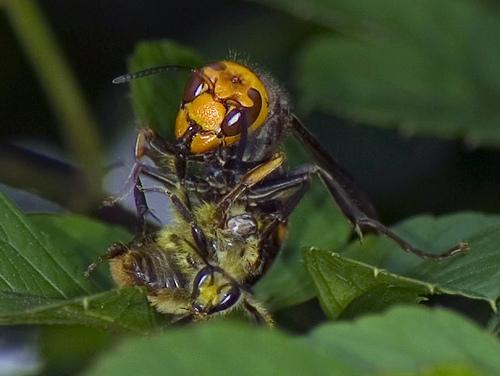 2762418242 78f27106b3 スズメバチ。日本発、世界でも稀に見る危険生物!