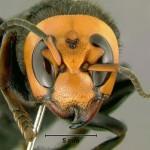 スズメバチ。日本発、世界でも稀に見る危険生物!
