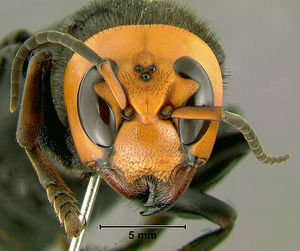 300 420095 スズメバチ。日本発、世界でも稀に見る危険生物!