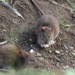 イギリスで強力な耐性を持つネズミが増殖中!通称はスーパーラット!
