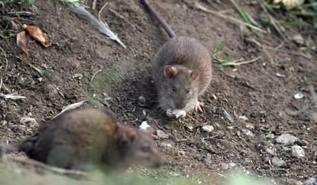 4RIA 479653 Preview イギリスで強力な耐性を持つネズミが増殖中!通称はスーパーラット!