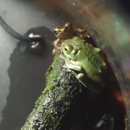 599px Rhacophorus viridis by OpenCage 500x500 青いカエルが沖縄本島で発見される!