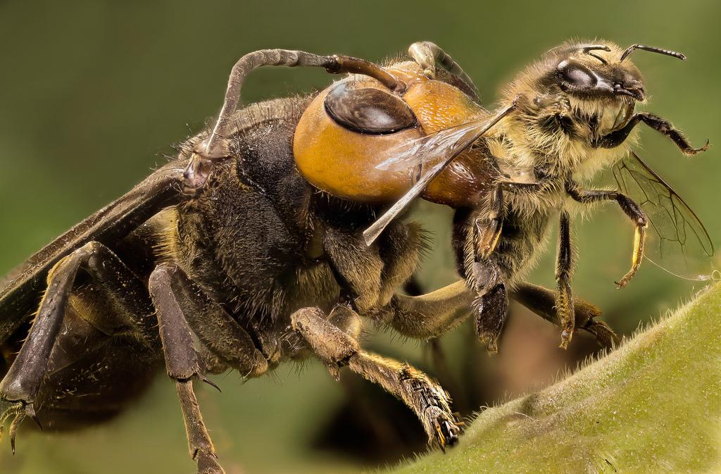 6902516385 6940907a9f b スズメバチ。日本発、世界でも稀に見る危険生物!