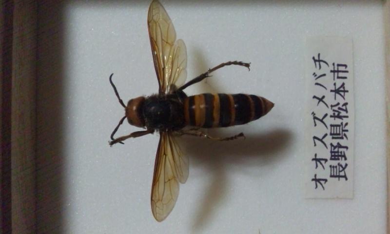 DSC 0941 スズメバチ。日本発、世界でも稀に見る危険生物!