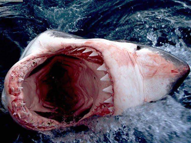 Great White Shark South Africa6 ホホジロザメが大量に生息する海域、ホホジロザメカフェ!