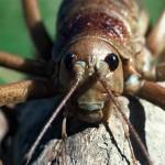 ジャイアントウェタ!見た目は凶暴でも実際は温厚な巨大昆虫!