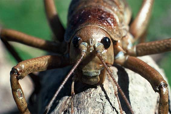 giant weta 565 ジャイアントウェタ!見た目は凶暴でも実際は温厚な巨大昆虫!