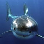 ホホジロザメが大量に生息する海域、ホホジロザメカフェ!