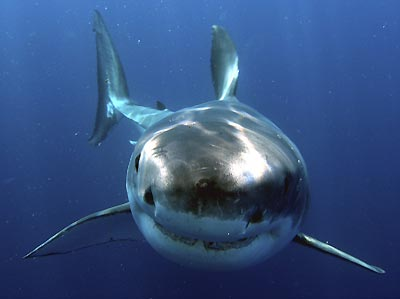 great white shark photo via snagwire media1 ホホジロザメが大量に生息する海域、ホホジロザメカフェ!