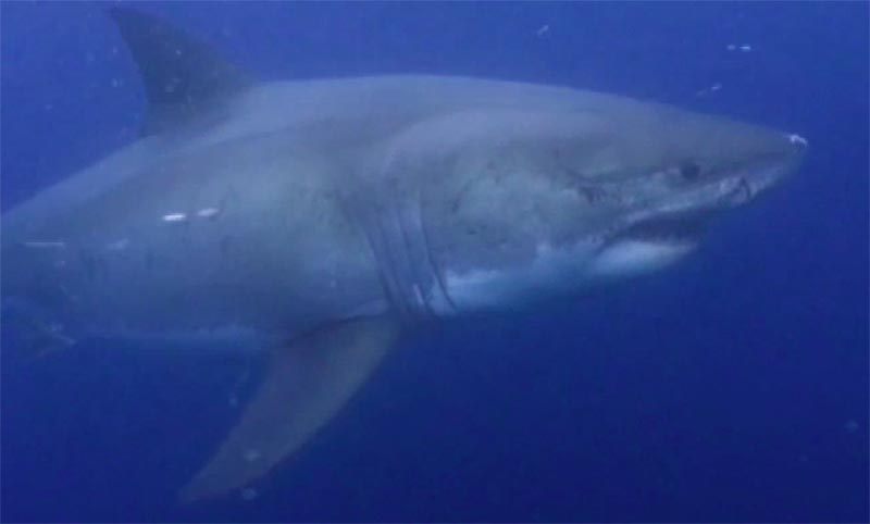 tom johnson great white 2 ホホジロザメが大量に生息する海域、ホホジロザメカフェ!