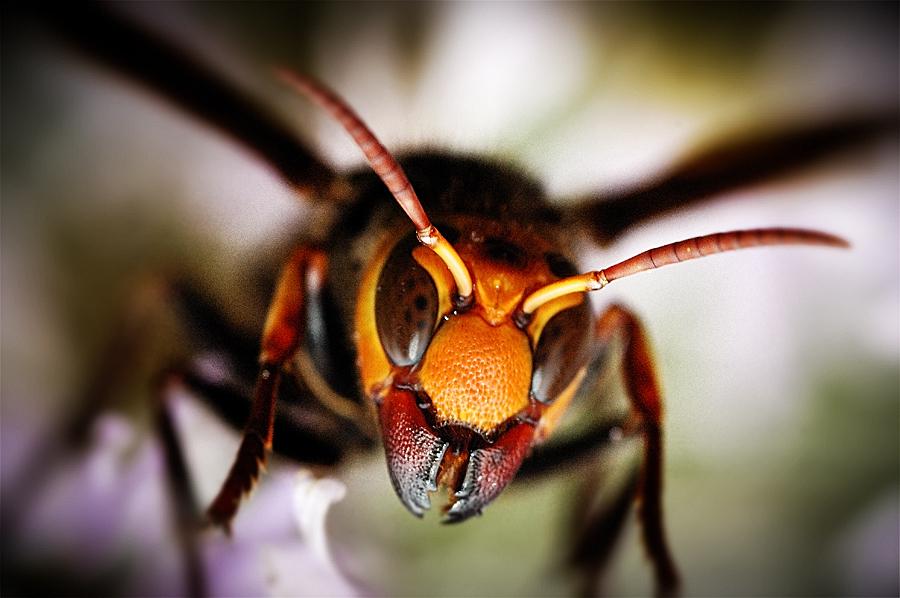vespa1 スズメバチ。日本発、世界でも稀に見る危険生物!