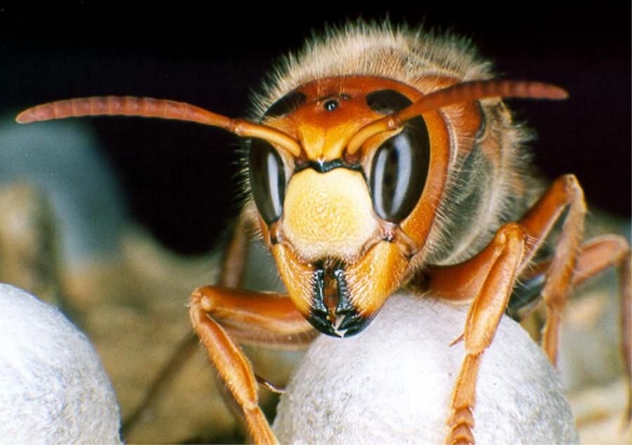 hornikopf 900x634 スズメバチの被害から身を守るために。