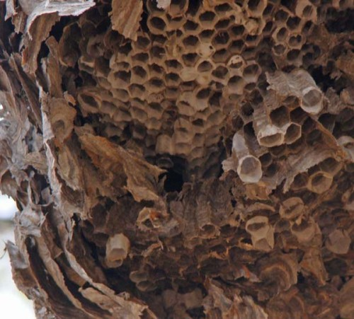 nov17 09hornet04 500x451 スズメバチの被害から身を守るために。