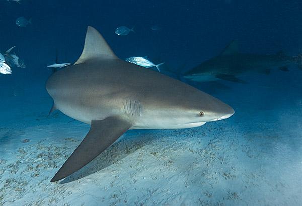 BullShark010 ジョーズのモデルとなったニュージャージー州サメ襲撃事件!