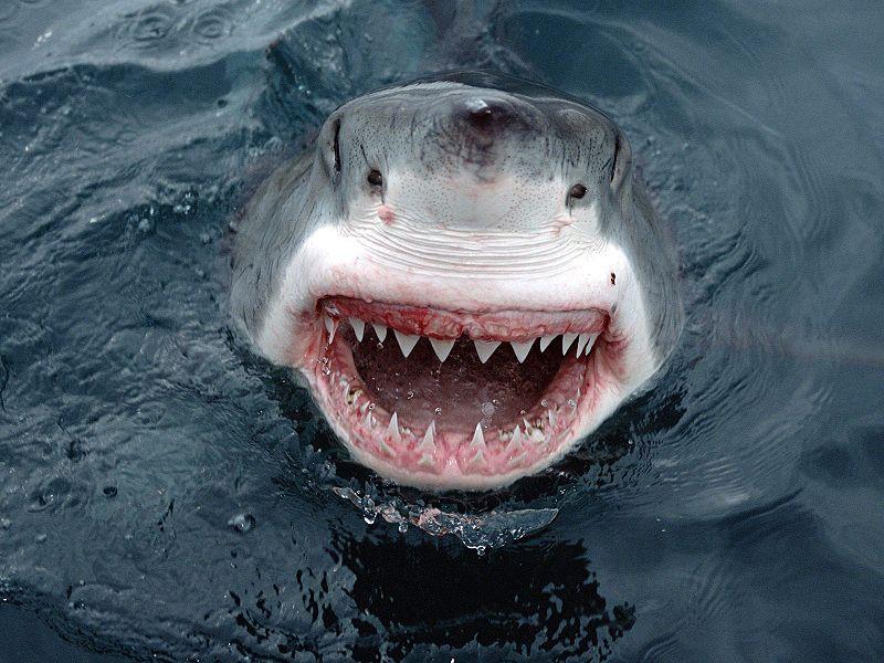 JawsShark ジョーズのモデルとなったニュージャージー州サメ襲撃事件!