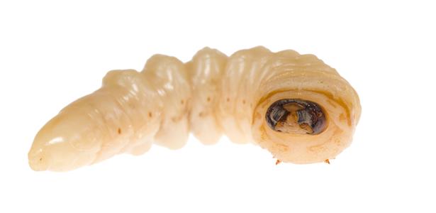 MaggotTherapy Post ウジ虫は時として益虫に、マゴットセラピー。