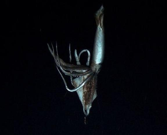 giant squid3 日本海各地でダイオウイカが漂着!2014年1月だけでも4体!