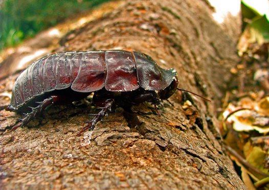 0e87f87dae7a2d4673e03b144fb99b9c ヨロイモグラゴキブリ!信じられない高価なゴキブリ。