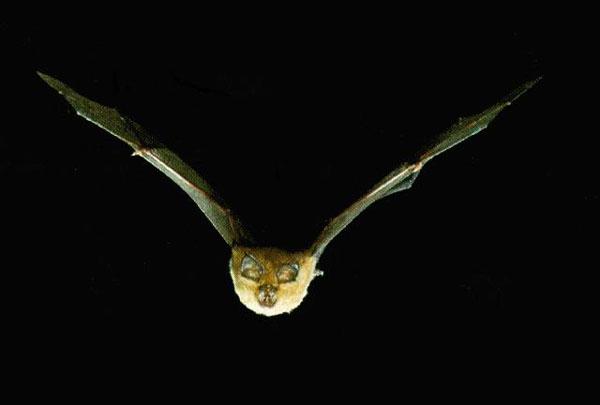 391 ヨーロッパでコウモリが増加傾向!20年で40%増える!