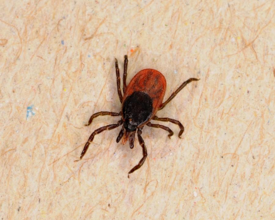 IxodesRicinus2048 900x718 マダニの脅威が広がる!身近な超危険生物!
