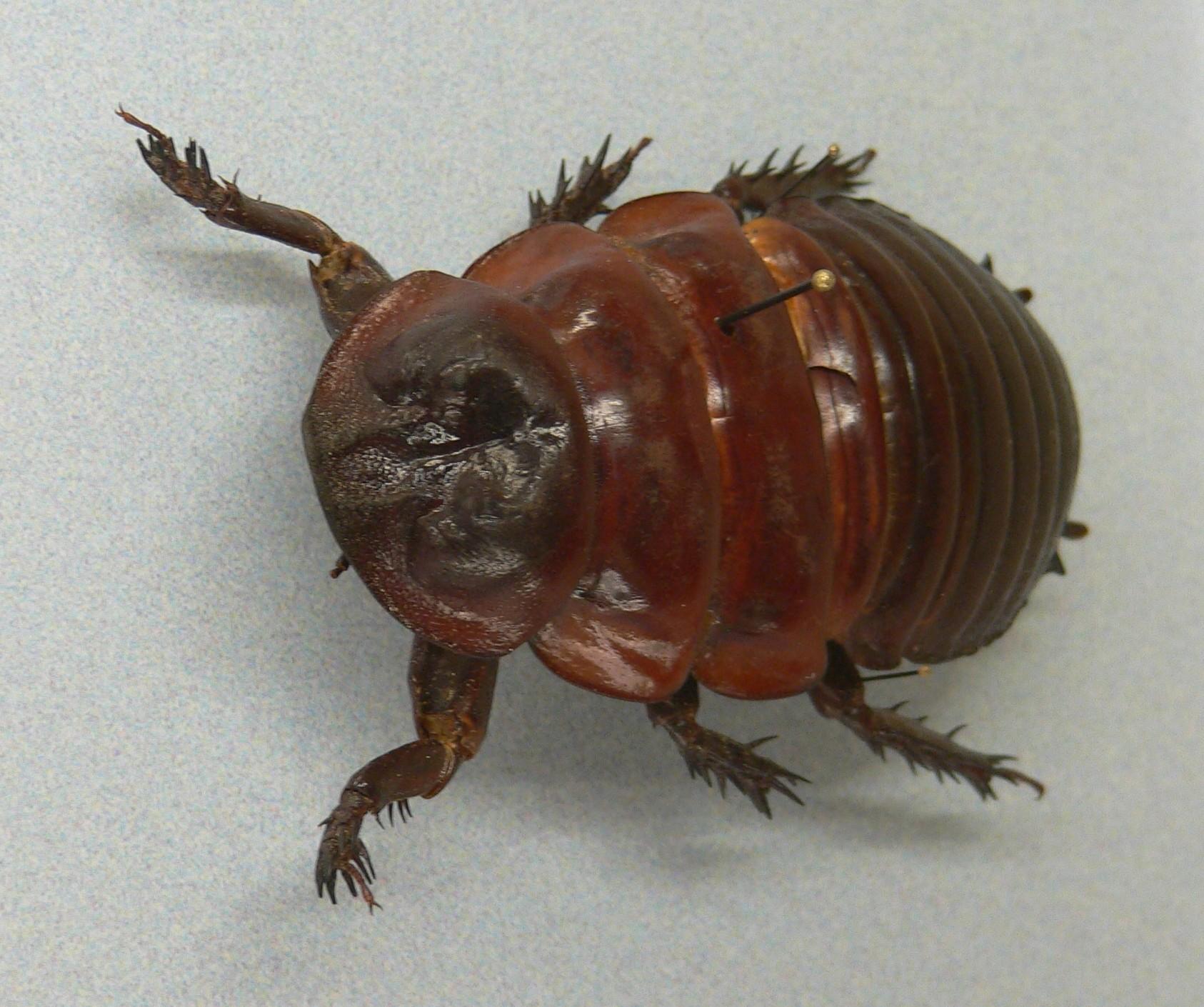 MP   Macropanesthia rhinoceros 2 e1393312675644 ヨロイモグラゴキブリ!信じられない高価なゴキブリ。