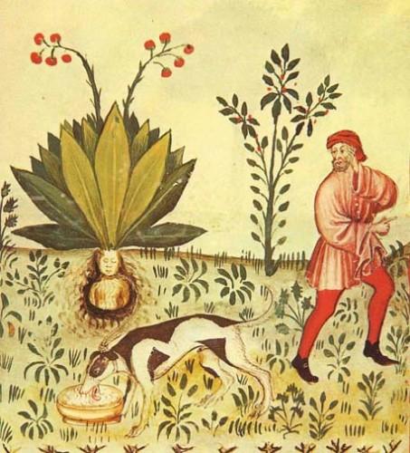 Mandragora Tacuinum Sanitatis 453x500 マンドラゴラ、ヨーロッパの奇妙な植物。