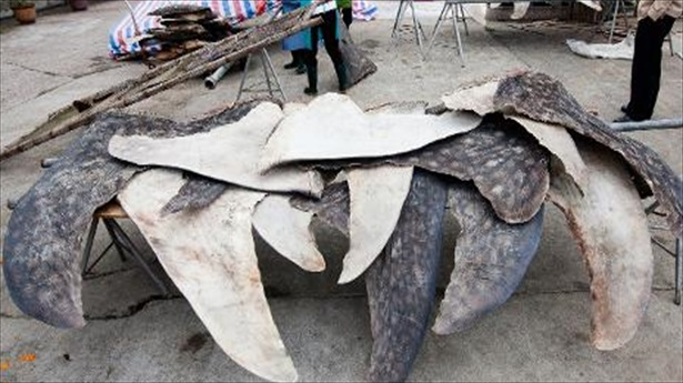 Photo released on Jan  27 2014 by conservation group WildLifeRisk shows whale shark fins being dried and stacked for export in Pu Qi in Chinas Zhejiang province AFP サメの乱獲防止へ、4月からヒルトン系列ホテルでのフカヒレ販売中止。