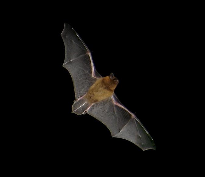 Pipistrellus flight2 ヨーロッパでコウモリが増加傾向!20年で40%増える!