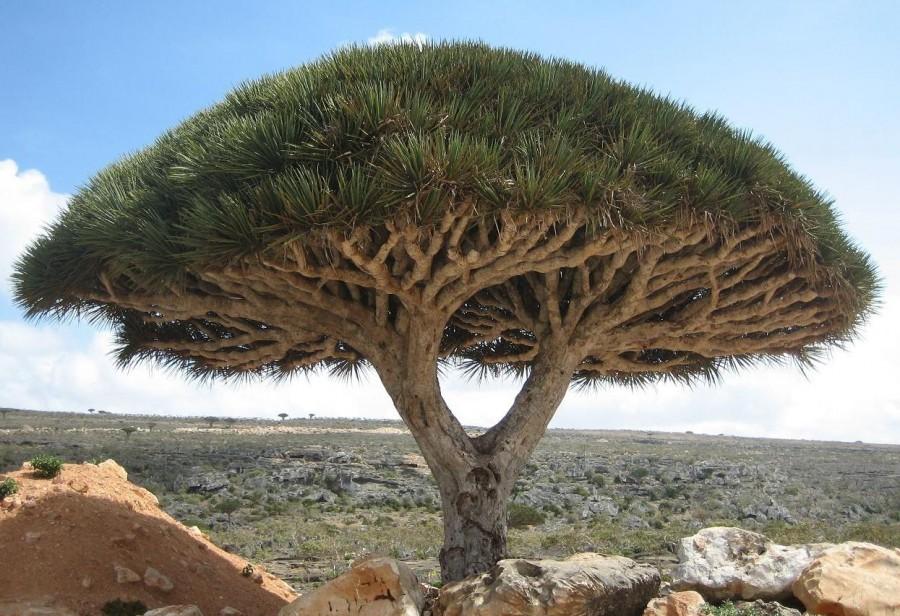 Socotra dragon tree 900x616 ソコトラ島、インド洋のガラパゴス諸島!
