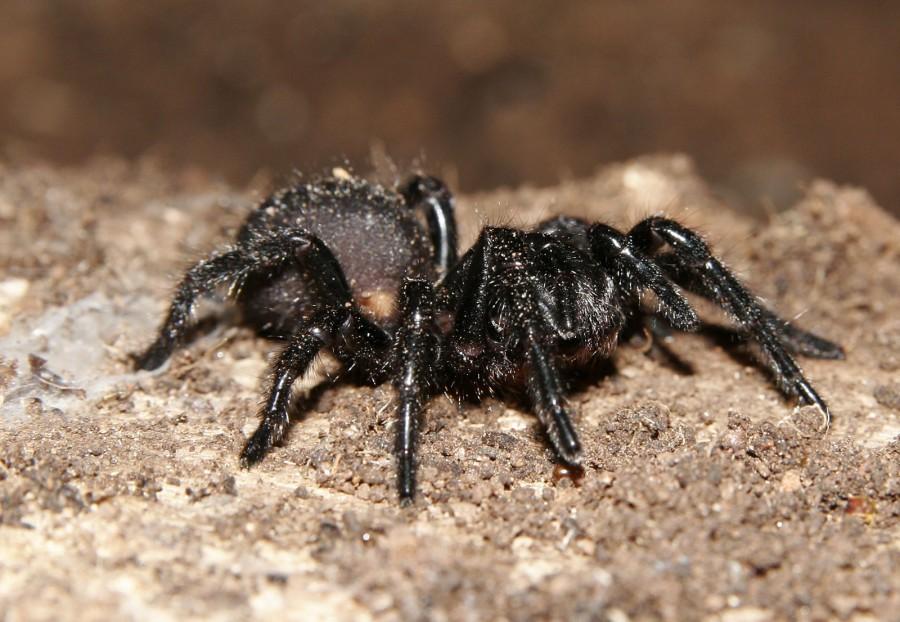 Victorian funnelweb side 900x622 シドニージョウゴグモ、オーストラリア旅行で要注意!