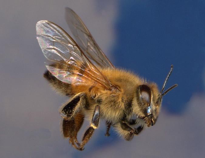 africanized honeybee アフリカナイズドミツバチ、通称キラービー!