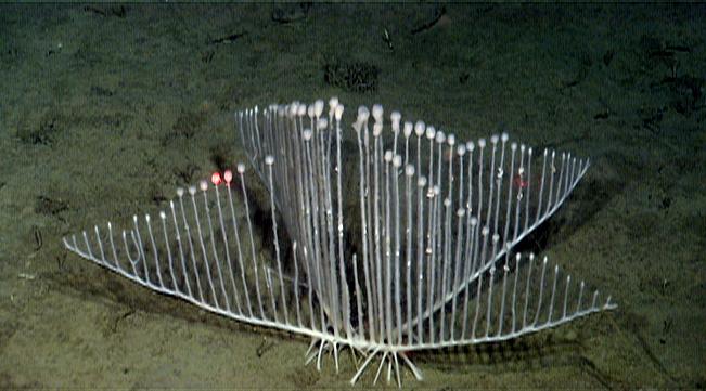chondrocladia t1046 02 コンドロクラディア・リラ。深海に住むハープ状の生物!