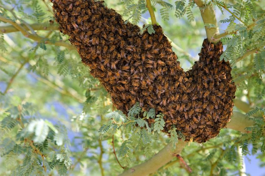 istock 000010745633small アフリカナイズドミツバチ、通称キラービー!