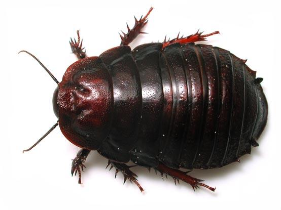 mn014669 554 ヨロイモグラゴキブリ!信じられない高価なゴキブリ。