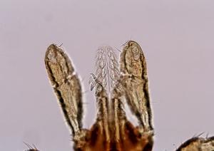ovatus04 thumb マダニの脅威が広がる!身近な超危険生物!