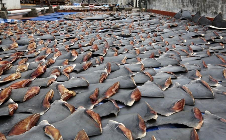 scmp 03jan13 ns fins19 sam 5867a 33263623 900x559 サメの乱獲防止へ、4月からヒルトン系列ホテルでのフカヒレ販売中止。