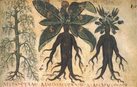 tumblr lud4iuIbNh1r68th6o1 1280 マンドラゴラ、ヨーロッパの奇妙な植物。