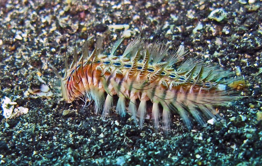 4375751734 4b2a5ed011 o 900x570 ウミケムシ。海底に生息する不気味な生物。