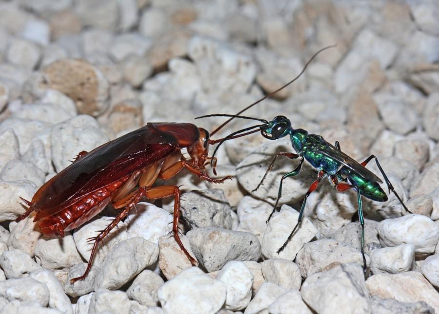 Ampulex compressa Image 2 900x645 エメラルドゴキブリバチ、ゴキブリを生け捕る超頭脳派ハンター!