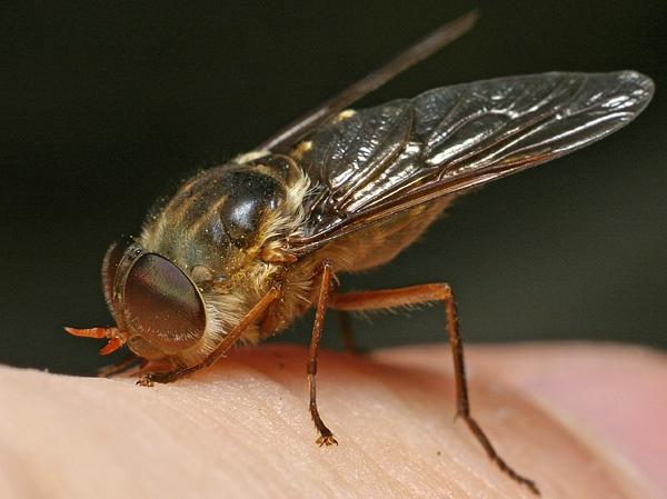 IMGP6320b ケバエ、全身に毛の生えた蚊の仲間。