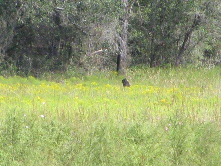 IMG 0198 スカンクエイプ、刺激臭を放つフロリダの猿人!