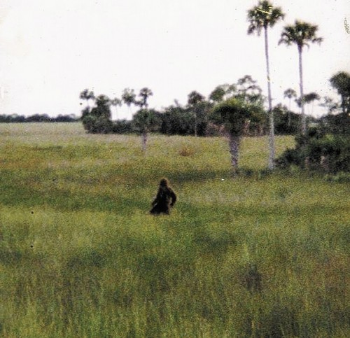 N Skunkape1 18CB t607 500x483 スカンクエイプ、刺激臭を放つフロリダの猿人!